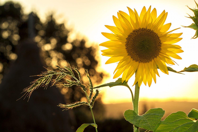 Eine Sonnenblume. Auch aus dieser Pflanze wird Grüner Strom gewonnen.