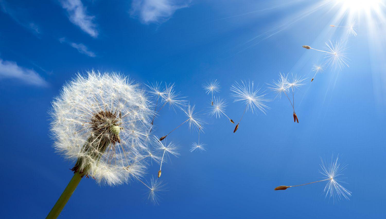 Der Wind weht die Samen von einer Pusteblume.